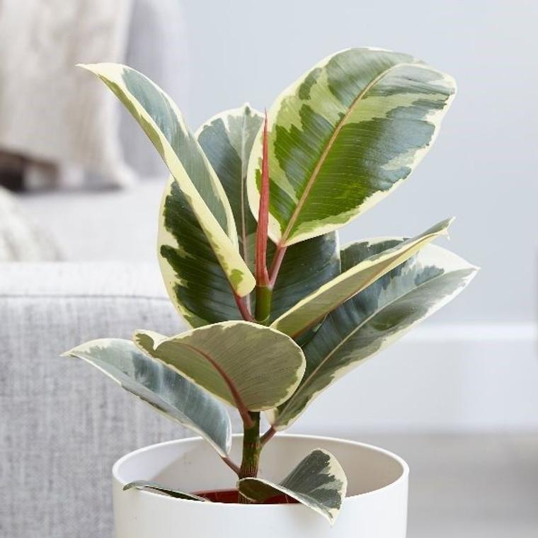 Ficus elastica 'Tineke' 14cm