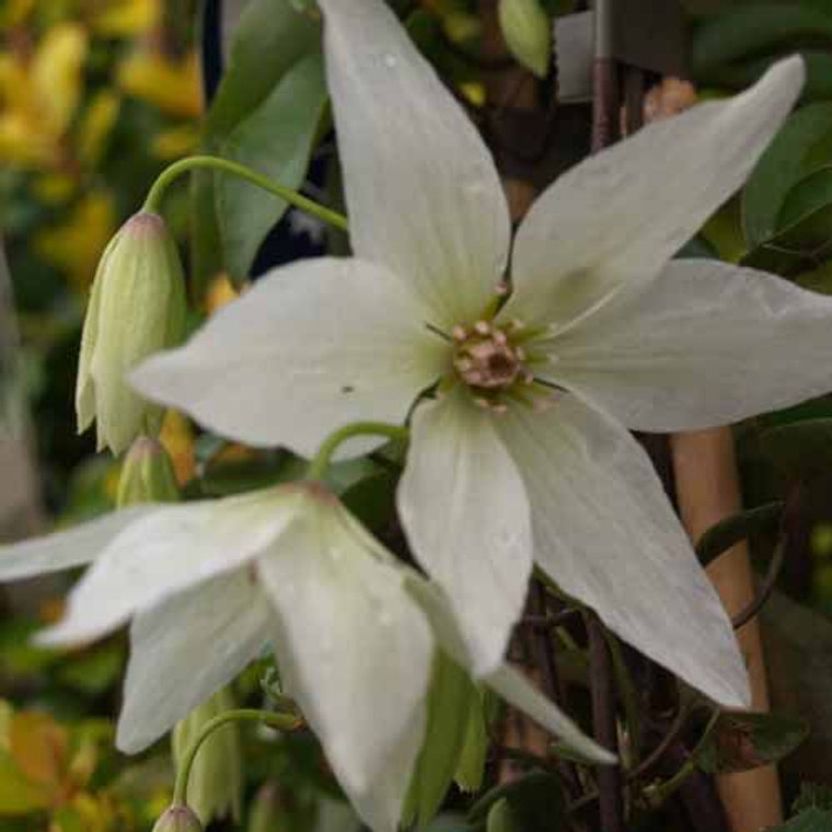 Clematis 'Purity' 3.5L