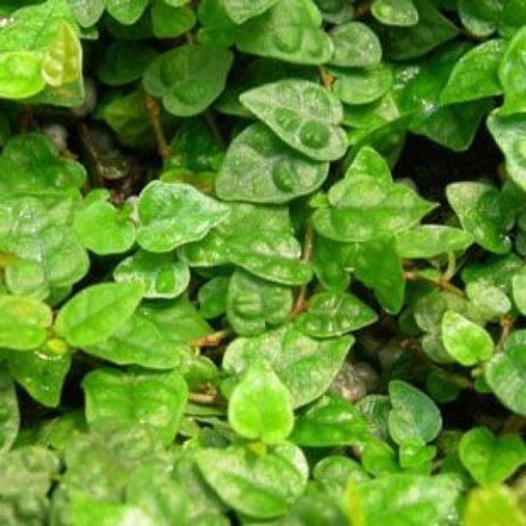 Ficus pumila minima 2.5L