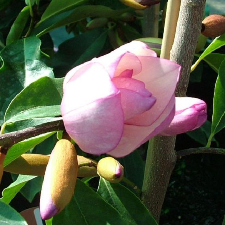 Michelia 'Paton Pink' 3.3L