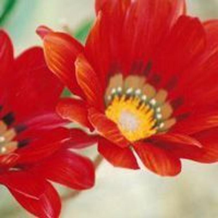 Gazania 'Takatu Red' 1.5L (92195) 1.5L