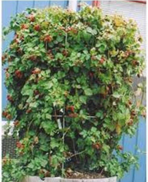 Hybridberry 'Berry Delight' 3L (92226) 3L