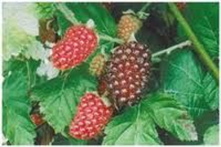 Hybridberry 'Thornless Jewel' 3L (92236) 3L