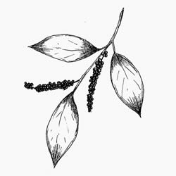 Black Pepper Essential Oil is extracted from Piper nigrum