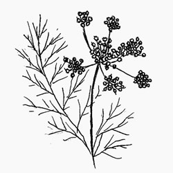 Organic Fennel Essential oil is steam distilled from the crushed seeds