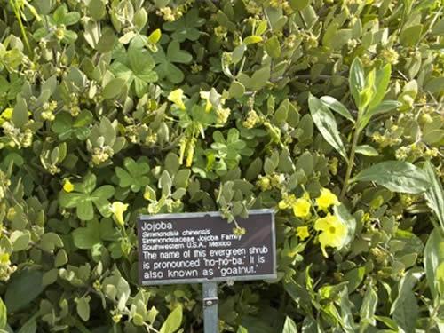 jojoba-desert-organic-sunflower.jpg