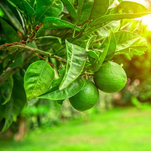 Lime Essential Oil Harvest