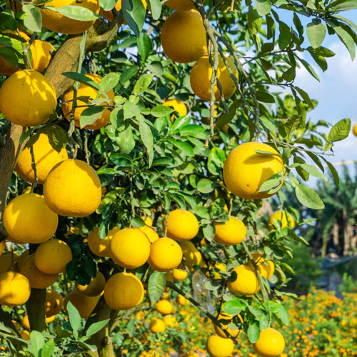 Sweet Orange essential oil for aromatherapy use