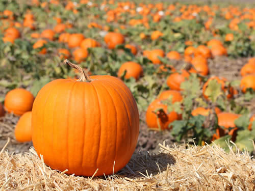 pumpkin-growng-at-our-farm.jpg