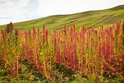 quinoa-growing-1.jpg