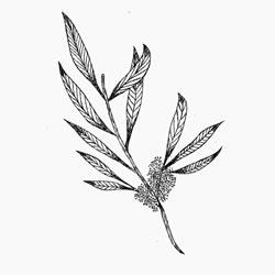 Tea Tree Esssential oil steam distilled