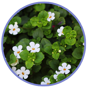 Bacopa monnieri For Sleep Support