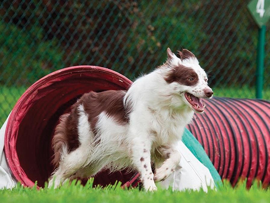 dog running agility tunnel