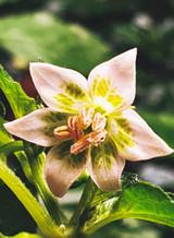Cream Fantasy Chilli Flower Image by CHILLIESontheWEB