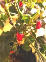 Jalapeno Mariachi Chilli Plant Image by CHILLIESontheWEB
