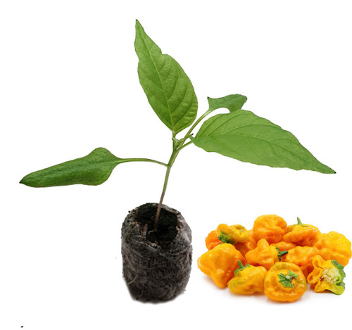 Jamaican Yellow Chilli Seedling Plant Image by CHILLIESontheWEB