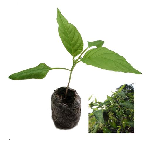 Jalapeno Early Chilli Plant Image by CHILLIESontheWEB