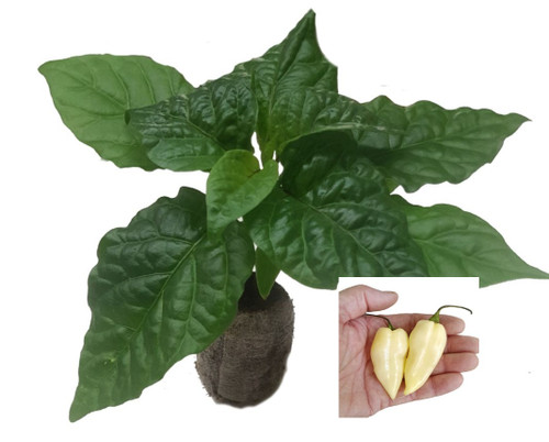Naga White Chilli Seedling Plant Image by CHILLIESontheWEB