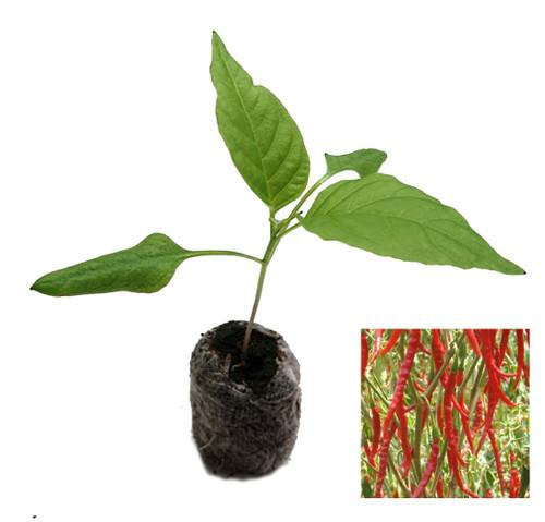 Cayenne Long Slim Chilli Seedling Plant Image by CHILLIESontheWEB