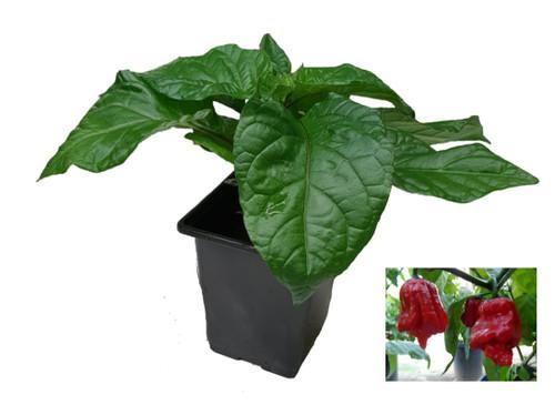 7 Pot Jonah 9cm Chilli Seedling Plant Image by CHILLIESontheWEB