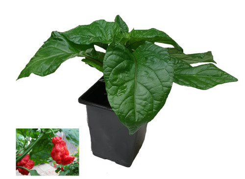 7 Pot Primo Red 9cm Chilli Plant Image by CHILLIESontheWEB