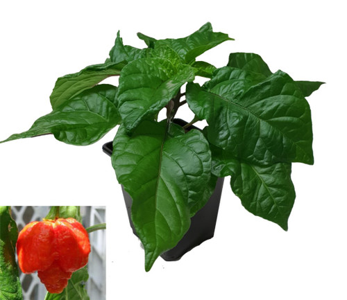 Moruga Scorpion Chilli Plant Image by CHILLIESontheWEB