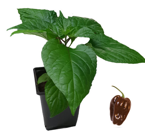 Habanero Chocolate Chilli Plant Image by CHILLIESontheWEB