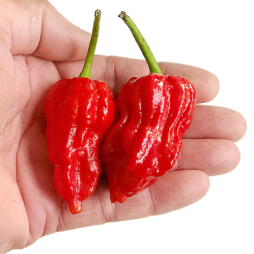 7 Pot Barrackpore Chilli Seeds Image by CHILLIESontheWEB