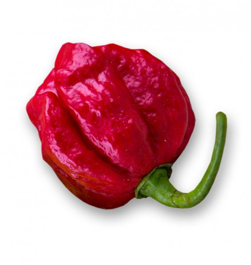 7 Pot Douglah Red Chilli Seeds Image by CHILLIESontheWEB