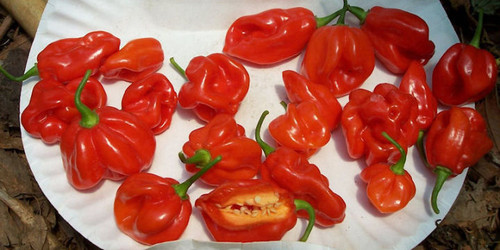 Habanero Tobago Seasoning Chilli Seeds Image by CHILLIESontheWEB