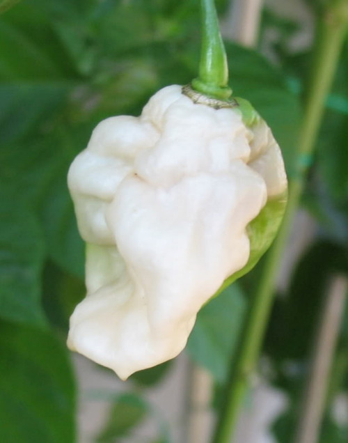 Naga White Chilli Seeds Image by CHILLIESontheWEB