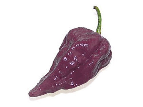 Naga Purple Chilli Image by CHILLIESontheWEB