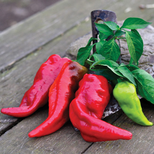 Beaver Dam Chilli Seeds Image by CHILLIESontheWEB