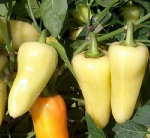 Caloro Chilli Seeds Image by CHILLIESontheWEB