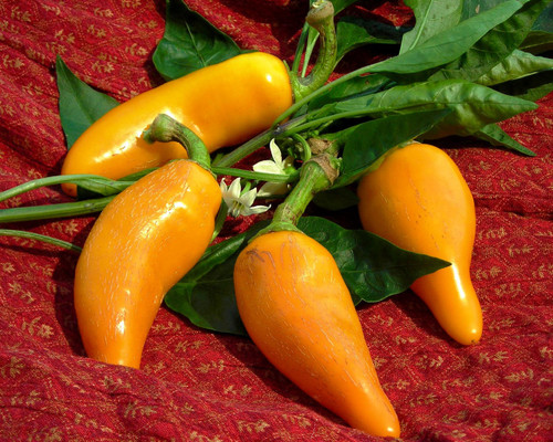 Orozco Chili Seeds Image by CHILLIESontheWEB