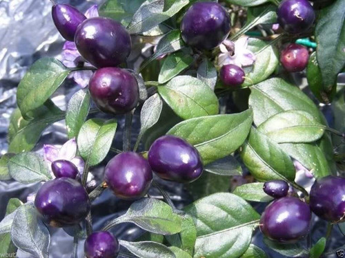Pretty Purple Chilli Seeds Image by CHILLIESontheWEB