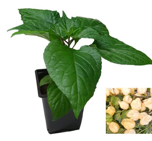 7 Pot White Chilli Plant Image by CHILLIESontheWEB