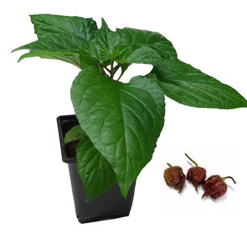 7 Pot Primo Chocolate 9cm Chilli Plant Image by CHILLIESontheWEB