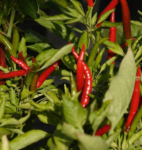 Thai Dragon Chilli Seeds Plant Image by CHILLIESontheWEB