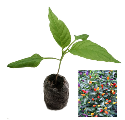 Bolivian Rainbow Chilli Plant Image by CHILLIESontheWEB