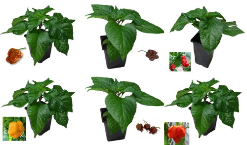 6 Pack of Superhot 9cm Chilli Plant Image by CHILLIESontheWEB