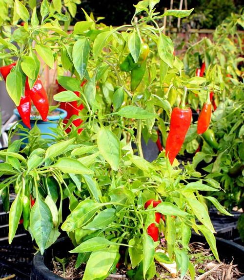 Maris Biber Hybrid Chilli Seeds Image by CHILLIESontheWEB