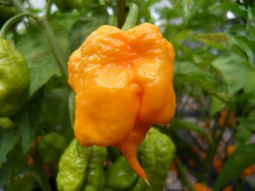 7 Pot Primo Yellow Hybrid Chilli Seeds Image by CHILLIESontheWEB
