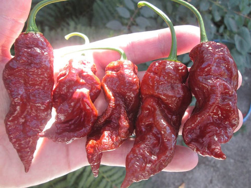 Jays Chocolate Ghost Hybrid Chilli Seeds Image by CHILLIESontheWEB
