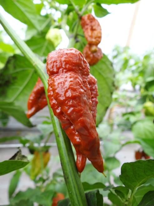 Brown Bhutlah Hybrid Chilli Seeds Image by CHILLIESontheWEB