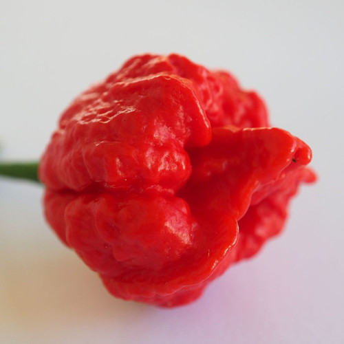 Wartry X Hybrid Chilli Seeds Image by CHILLIESontheWEB