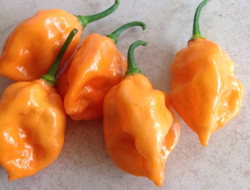 Ghorpion Orange Hybrid Chilli Seeds Image by CHILLIESontheWEB