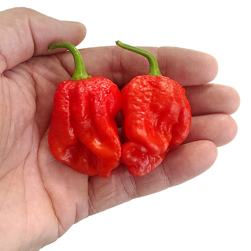 Carbon Bhut x 7 Pot Hybrid Chilli Image by CHILLIESontheWEB