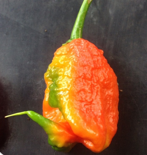 Reaper x Brazilian Ghost Hybrid Chilli Image by CHILLIESontheWEB