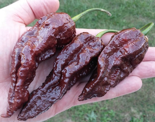DM Chocolate Bhutlah Hybrid Chilli Image by CHILLIESontheWEB